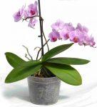 Orchidea cserép 10 cm