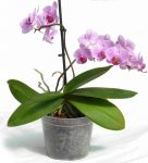 Orchid flower pot 10 cm